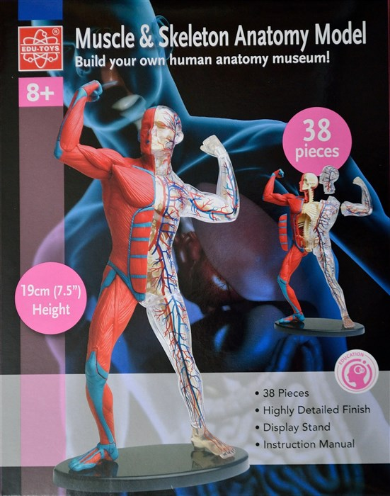 Anatomy - muscle and skeleton model