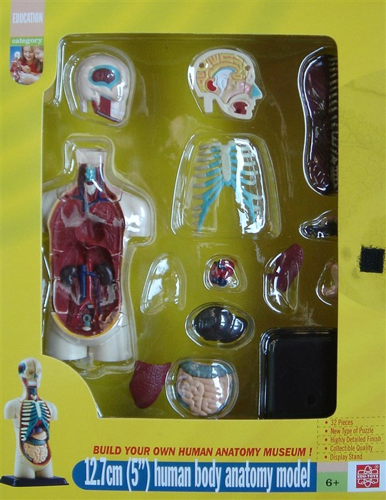 Model of the body's anatomy - Torso