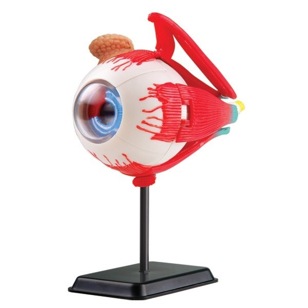 Model of the eye anatomy