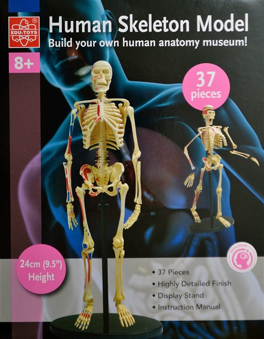 Skeleton - Model of a human skeleton