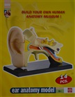 Model of the anatomy of the ear